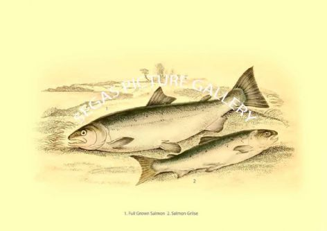 Fine art print of the Full Grown Salmon - Salmon Grilse by Robert Hamilton (1843)